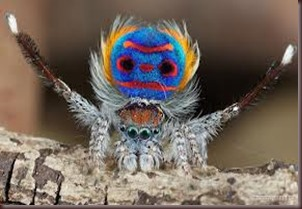 Amazing Pictures of Animals, photo, Nature ,exotic, funny, incredibel, Zoo, Maratus volans,  Peacock spider or Gliding spider, Alex (18)