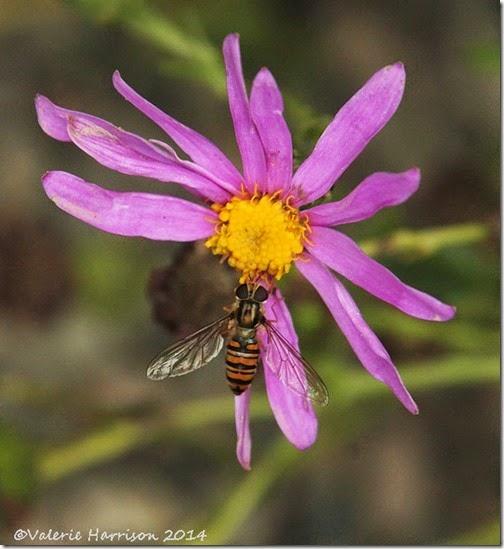marmalade-fly