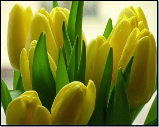 Tulpen Lo Graf von Blickensdorf
