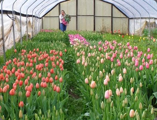 tulips 526806_543712355661813_1631499608_n arnosky farm