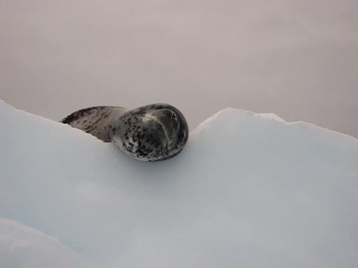A Leopard Seal checking us out from his perch atop an iceberg.