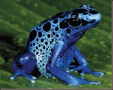 Amazing Pictures of Animals. Poison, Dangerous.9. Poison Dart Frog.Alex