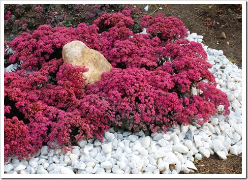 Sedum 'Dazzleberry' from Chris Hansen3