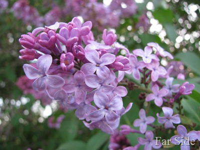 Lilacs in town May 14