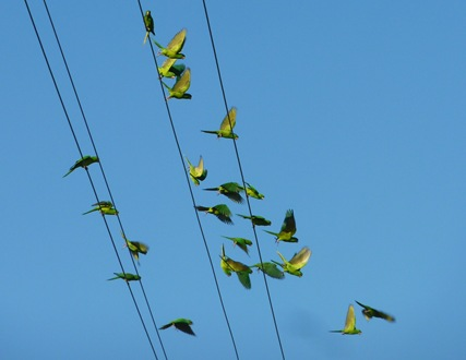 Green Parakeets coming in for a landing on power lines Mission, Texas