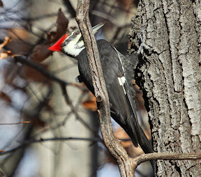 Female Pileated Woodpecker in the yard - Ringwood - November 23, 2014 (all photo taken by Bob Perry)