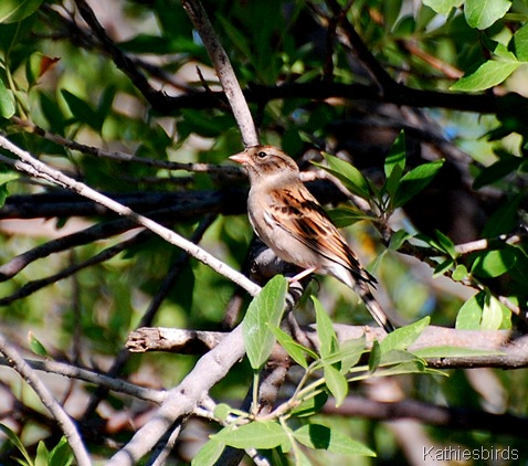 11. juv chip sparrow-kab