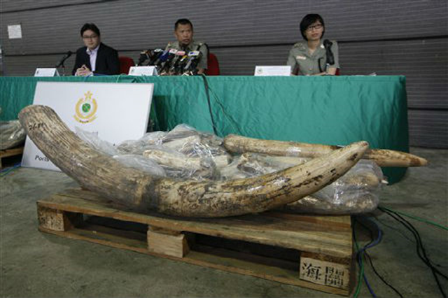 Vincent Wong, center, group head of Port Control from Hong Kong Customs, speaks with ivory tusks confiscated during a news conference in Hong Kong on Friday. Hong Kong customs officers have made their second big seizure of illegal ivory in less than a month after confiscating more than a ton of the elephant tusks worth $1.4 million, officials said Friday. Officers discovered 569 pieces of ivory tusks weighing 1,330 kilograms (2,930 pounds) on 15 November 2012. Kin Cheung / AP