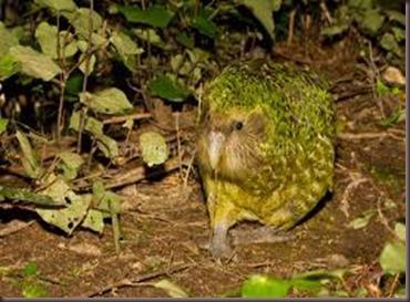 Kakapo Wallpaper Zoo Kakapo birds Aves