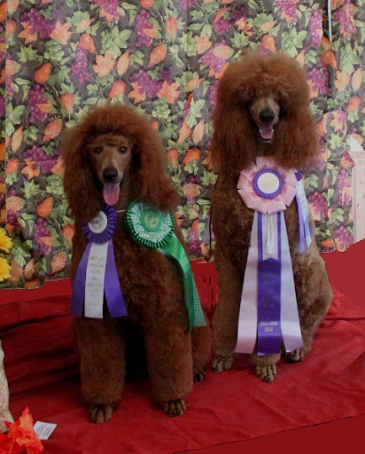 Crystal Avon's standard poodles, Dare and Finnegan, compete in many dog shows