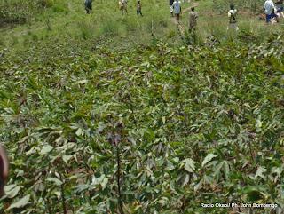 Un champ de maniocs à l'Est de la RDC. Radio Okapi/ Ph. John Bompengo
