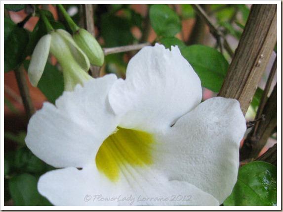 12-15-white-thunbergia