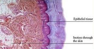 epithelial tissue quiz