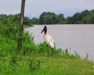 Amazing Pictures of Animals, Photo, Nature, Incredibel, Funny, Zoo, Jabiru mycteria, Bird, Aves, Alex (12)