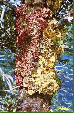 Syzygium corniflorum1