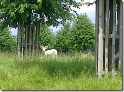 am deer 2