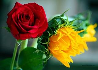 Roses_Company