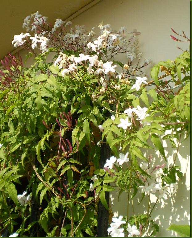 el jardinero urbano: jasminum polyanthum, jazmín chino, jazmín de