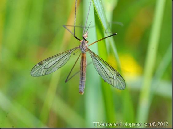 hyönteisiä, ötököitä, parittelua 109