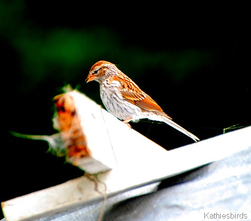 4. juv chipping sparrow-kab