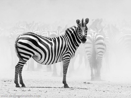 animais national geographic desbaratinando  (54)