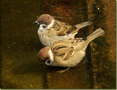 TwoSparrows