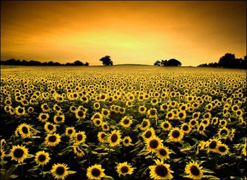 Sunflower-landscape
