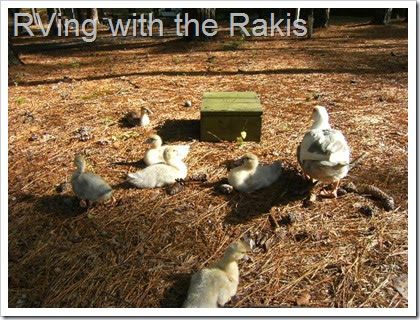 Meeting the duckings - from Zaiyd Raki of RVing with the Rakis