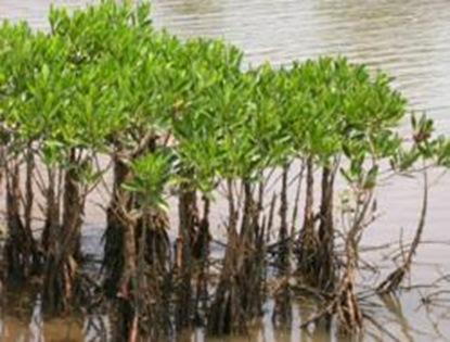 gI_64909_mangrove