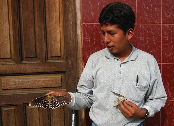 Noctuidae : Ophiderinae : Thysania agrippina CRAMER, 1776, verso. Coroico (1800 m). Bolivie, 27 janvier 2004