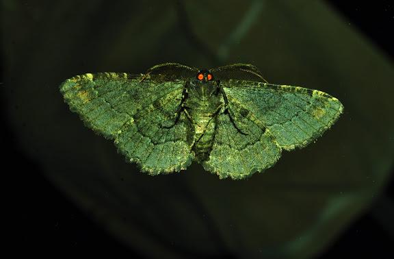 Geometridae : Ennominae : Boarmiini : Pholodes sinistraria GUÉNÉE, 1857, mâle, verso. Umina Beach (New South Wales, Australie), 25 mars 2011. Photo : Barbara Kedzierski