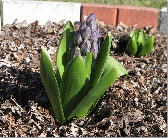 hyacinth 02