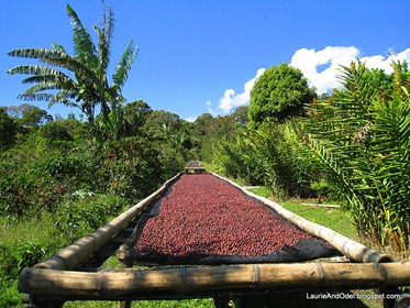 Coffee cherries drying in Boquete