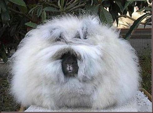 Amazing Animal Pictures Angora Rabbit (10)