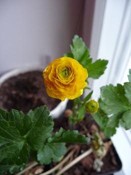 004 Ranunculus acris Flore Pleno Daniel Grankvist