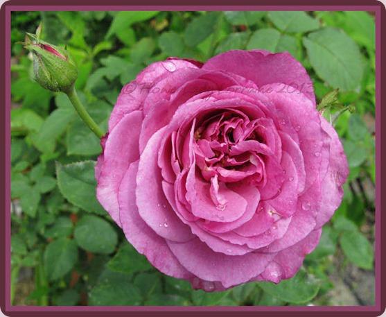 05-22-lavender-rose