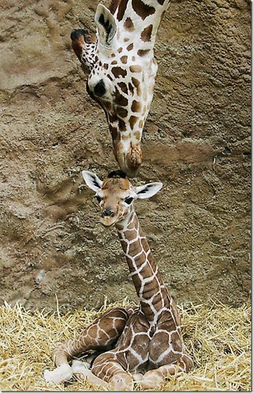 Zoo Giraffes