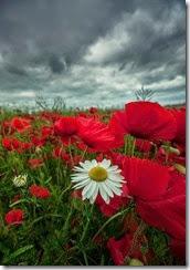 flores vermelhas e margarida branca
