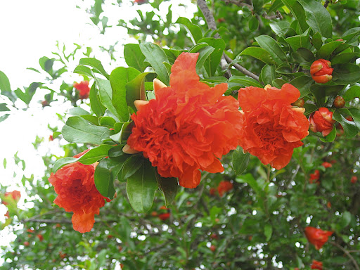 This pomegranate flower was near the cafe. I have only one word for this form and color: va-va-voom!