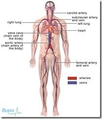 cardiovascular_427x500