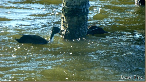 F Tufted duck_003