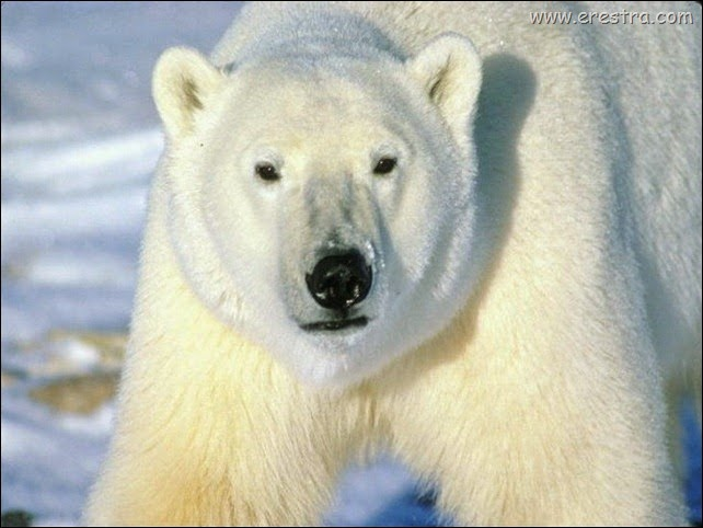 polar_bear_stride_1024