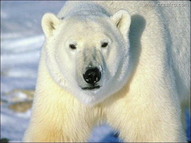 polar_bear_stride_1024