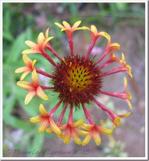 06-23-blanket-flower