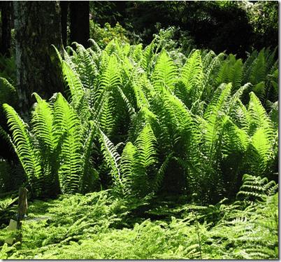 Ciri ciri tumbuhan paku