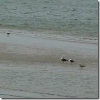 gulls nairn