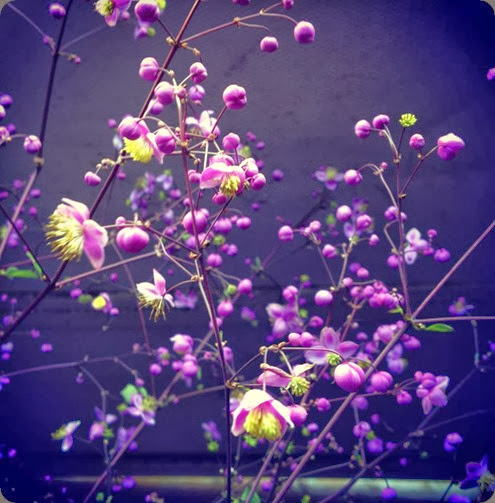 varieties Thalictrum 'Lavender Mist' 999166_10151860687202625_1782829426_n valley flower company