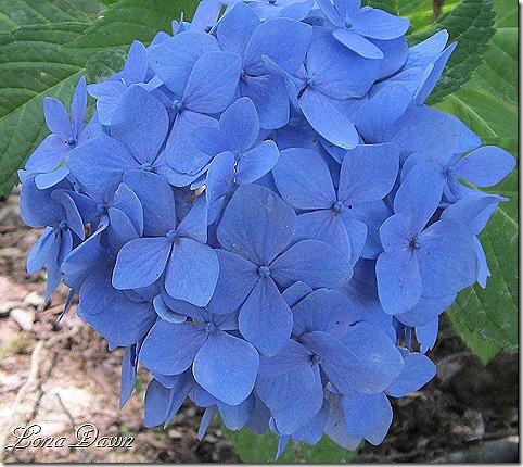 Hydrangea_BlueberryParfait_June24
