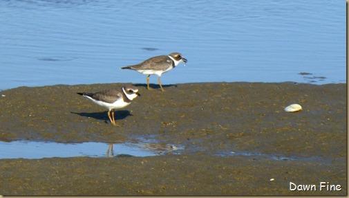 tern island birding_039