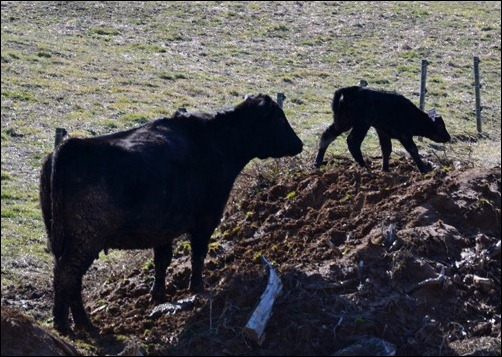calf on the mountain